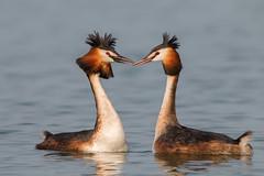 La coppia durante il corteggiamento