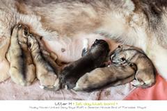 Husky Puppies Day 1 (Emyan) Tags: dog animals puppies husky newborn siberian