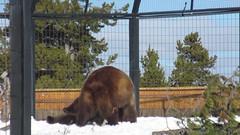 YELLOWSTONE NATIONAL PARK,WEST YELLOWSTONE,MONTANA AND WYOMING JANUARY 10-13,2015 BILLS VIDEOS JANUARY 13,2015 (25) (MFTMON) Tags: dale mftmon dalemorton travel vacation yellowstone nationalaprk yellowstonenationalpark westyellowstone montana wyoming nature wildlife nationalpark video
