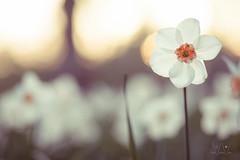White Narcissus (Wave / Particle / Pixel) Tags: flowers trees netherlands spring blossom nederland arboretum location wageningen magnolia holanda paysbas belmonte narcissus provinciegelderland