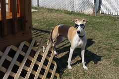 Movie Star (DiamondBonz) Tags: dog pet cute goggles hound adorable whippet spanky