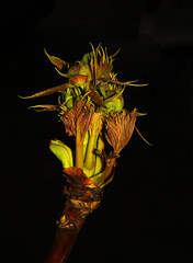 Bud (1selecta) Tags: light red brown plant black detail green closeup dark spring stem bright near flash grow iso formation f16 growth bloom april flowering 100 growing bud creating springtime closer 1250 forming bloominmg