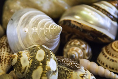 Just Shells 3 (joegeraci364) Tags: ocean life travel sea vacation white black color art beach nature water animal contrast print spiral design coast photo still pattern image artistic wildlife group shell hobby collection photograph shore shellfish destination shape decor biology mollusk