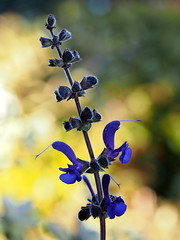 Salvia pratensis.. (quarzonero ...Aldo A...) Tags: flower nature coth salviapratensis