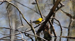 Prothonotary Warbler (praja38) Tags: life park wild lake ontario canada male bird nature animal creek forest nationalpark wings pond woods wildlife caps wing beak feathers feather logs humour canadian cap warbler pointpelee southernontario capricorn prothonotarywarbler