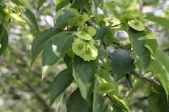 Liuzhou/ - Paliurus hemsleyanus/ 1144 (Petr Novk ()) Tags: china plant tree nature asia wildlife asie  strom   guangxi liuzhou    rostlina na paliurus paliurushemsleyanus