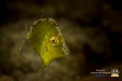 DIAMOND LEATHERJACKET (10mm) (Sonja Ooms) Tags: fish macro green nature animal underwater philippines diamond leatherjacket puertogalera filefish excelsus atlantisresort rudarius rudariusexcelsus diamondleatherjacket