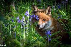 Down in The Woods (nick.bond@rocketmail.com) Tags: red bluebells woodland wildlife fox naturephotographer nickbond greatharwood canon6d wildlifeathome canon400mm56 nickbondgreatharwood