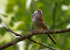 White-Throated Sparrow (Zonotrichia albicollis) 0F3A5339 (Dale Scott.) Tags: albertacanada whitethroatedsparrow zonotrichiaalbicollis wabamunlakeprovincialpark