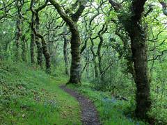 Twisted Oaks (tony marfell) Tags: bluebells woodland oak ceredigion rspb ynyshir