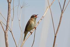 Sedge Warbler, RPSB Blacktoft Sands (JR Studio) Tags: bird river yorkshire trent ouse warbler humber wetland reedbed sedge ynu eastyorkshire blacktoftsands acrocephalus schoenobaenus rpsb