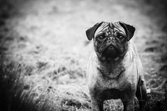 Holga Murray (Scott Duffus) Tags: portrait blackandwhite dog pet puppy nose holga eyes pug gazing gaze