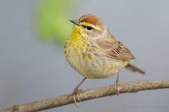 Palm Warbler (Photosequence) Tags: spring bokeh warbler songbird passeriformes woodwarbler