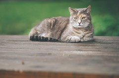 her majesty (StadtKind - capture the Bokeh) Tags: new wood portrait green nature animal cat germany table bavaria grey europe flickr dof desk bokeh outdoor sony tiger depthoffield mostinteresting katze popular tisch haustier a7 tier naturephotography kempten stadtkind bokehlicious sonya7 sonyilce7 walimexpro1352 samang1352