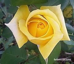 Rosa (ferlomu) Tags: ferlomu valladolid rosa flower