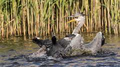 fight night (blackfox wildlife and nature imaging) Tags: heron canon wildlife coot waders wirral rspb birdfight 80d burtonmerewetlands sigma150600mmossport