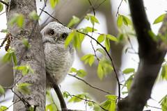 Peek-a-Hoot (ardvorak79) Tags: owl easternscreechowl megascopsasio