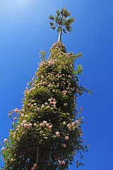 Climbing Roses on Palm tree (zgrial) Tags: california pink roses tree castle garden bluesky palm hearst springtime climbingrose lowangleview zgrial