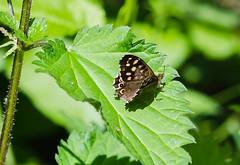 Speckled Wood (wightbern) Tags: macro nature closeup butterfly nikon wildlife lepidoptera nationaltrust speckledwood sigma105mm d7000 nikonnaturephotography newtownnationalnaturereserve walterscopse