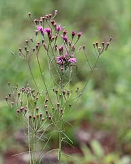 Tall Ironweed (Vernonia angustifolia) (Mary Keim) Tags: taxonomy:binomial=vernoniaangustifolia centralflorida marykeim lowerwekivariverpreservestatepark floridanativewildflowers