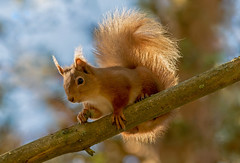 JWL7867 Red Squirrel.. (jefflack Wildlife&Nature) Tags: nature animal animals forest mammal scotland countryside woodlands squirrel wildlife cairngorms redsquirrel abernethy