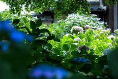 能護寺 (y-fu) Tags: xe2 fujifilm hydrangea saitama kumagaya rain japan xf 1855mm