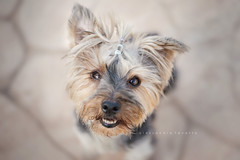 Barro (alessandrafavetto) Tags: dog pet pets color dogs horizontal outdoors yorkshire dogphotography petphotography dogportrait petphotographer dogphotographer