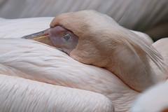 Don't disturb (AvesAg) Tags: pink berlin canon eos zoo rosa pelican pelikan tierpark pelecanusonocrotalus tierparkberlin greatwhitepelican rosapelikan