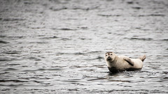 Hakuna Matata (OR_U) Tags: ocean sea water animal iceland widescreen negativespace seal oru 169 2016