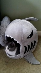 Annie in her shark. (Emfychan) Tags: cat shark