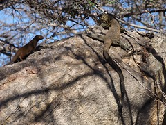 Curiosity (h_mclennan) Tags: wildlife mongoose dwarfmongoose lizard monitorlizard animal africa southafrica