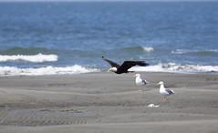 AK-570110 (HVargas) Tags: agulia eagle alaska outdoor wildlife wildbird seabird seagulls ocean scenic oceano gaviota playa shorebirds
