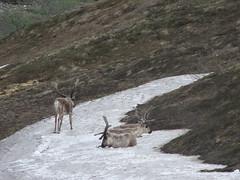 DenaliNationalPark368 (alicia.garbelman) Tags: alaska wildlife caribou denalinationalparkandpreserve