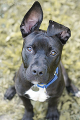 Puppy Ears :) (doranyiro) Tags: portrait dog pet cute nature beautiful beauty pits animal contrast canon puppy concentration mix eyes funny outdoor ears pitbull dogwalk dogportrait dogshelter pitmix canon40d pitpuppy
