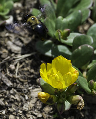 Bee_SAF9828 (sara97) Tags: copyright2016saraannefinke flower flowering floweringplant missouri nature outdoors photobysaraannefinke saintlouis towergrovepark urbanpark bee insect flyinginsect pollinator socialinsect