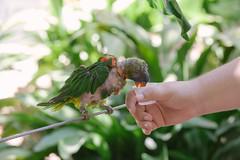 Feeding the Lorikeets. (LisaDiazPhotos) Tags: lorikeets bird nectar san diego zoo safari park lisadiazphotos