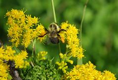 Golden Straddle (jameskirchner15) Tags: bee bumblebee flower plant yellow wildflower feeding pentaxk3ii michigan nature bokeh macro closeup hbw pentaxart