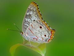 Anartia jatrophae (Rui Par) Tags: anartiajatrophae anartia jatrophae borboleta butterfly abaetetuba par brazil amazon nature natureza bug bugs flor flower