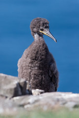 Shag (Simon Stobart (back but busy)) Tags: shag rock sitting juvenile down