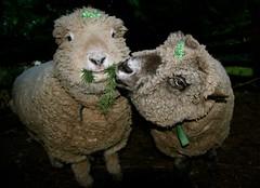 May the Luck o' the Irish be with Ewe ! (aprilamb) Tags: