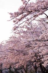 IMGP1239.jpg (Naoki Natsume/Ishii , 夏目直樹 ,石井直樹) Tags: flower japan pentax human 桜 cherryblossom 日本 sakura 花 fukushima k3 さくら cherryblossomtree 福島 ペンタックス smcpentaxfa77mmf18limited pentaxk3 石井直樹 naokiishii kⅲ ishiinaoki いしいなおき ginarainbow