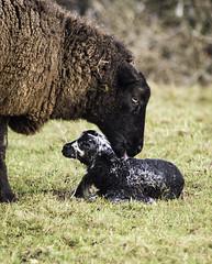 Let's Get You Cleaned Up (acky904) Tags: baby canon spring sheep birth clark newborn lamb blacksheep forestofdean atkinson canon6d clarkatkinson clarkatkinsoncom