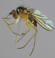 Anepsiomyia flaviventris, North Wales, July 2014 (janetgraham84) Tags: flaviventris dolichopodidae anepsiomyia
