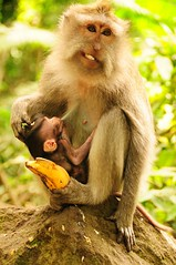 OUCH !!! (john a d willis) Tags: bali indonesia monkey ubud motherlove crabeatingmacaque monkeysanctuary balineselongtailed