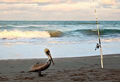 LOOKING FOR LUNCH........ (marsha*morningstar) Tags: bird beach sand pelican rod fowl atlanticocean reel jensenbeach hutchinsonisland