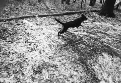 Bounding (oh it's amanda) Tags: winter blackandwhite bw dog home 35mm mississippi blackwhite nikon nikonn80 nikonf80 ilfordfp4 ilfordfp4plus senatobia sigmasuperwideii24mmf28 sigmasuperwideii24mm28 sigmasuperwideii sigmasuperwideii2428
