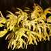 Den. speciosum var. grandiflorum – Anita Spencer