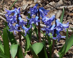 Lisle, IL, Morton Arboretum, Blue Hyacinth(?) Flowers (Mary Warren (6.3+ Million Views)) Tags: blue plants nature spring flora hyacinth mortonarboretum lisleil
