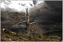 VICTIMA (Juan J. Marqués) Tags: cielo pino teruel tormentas aliaga