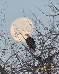 March 7, 2015 - An eagle takes in the morning as the moon sets in the background. (Ed Dalton)